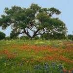 Texas Hill Countyr Oak